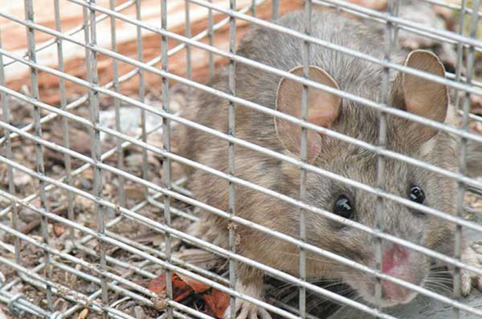 Rodent in cage